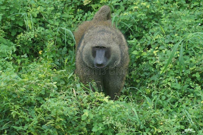 Lion Tail Monkey photographie stock libre de droits