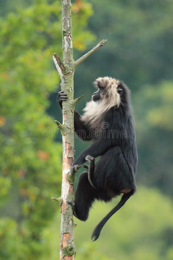 Download Lion-tailed macaque stock image. Image of animal, tree - 26894371