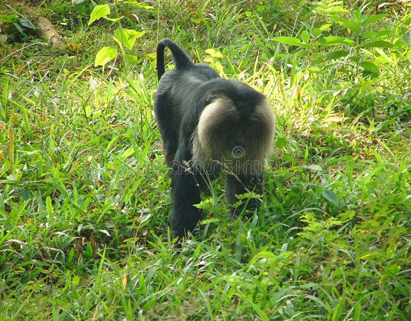 Lion Tailed Macaque Macaca Silenus imagens de stock