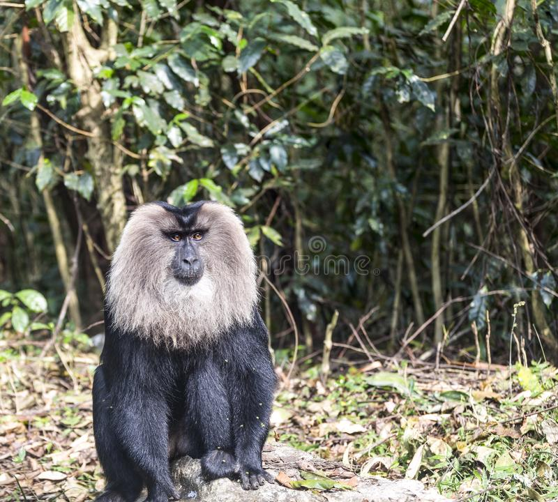 The lion tailed macaque royalty free stock photos