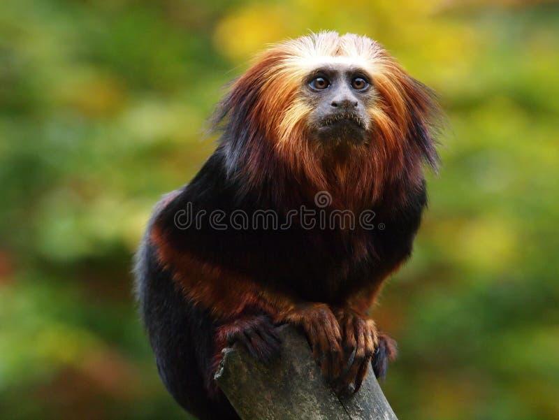 Lion Tamarin photo libre de droits