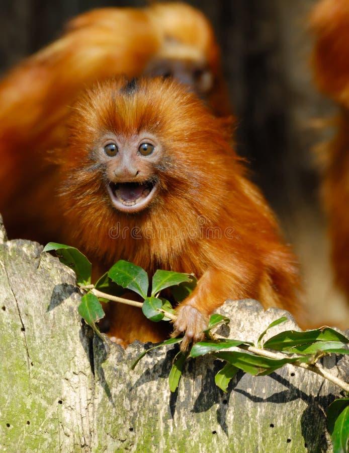 Lion tamarin royalty free stock photography