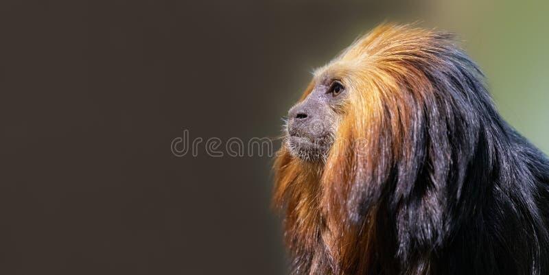 lion tamarin med kopieringsutrymme fotografering för bildbyråer