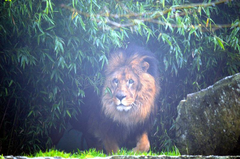 Lion in thicket. A male lion standing in a thicket royalty free stock photo