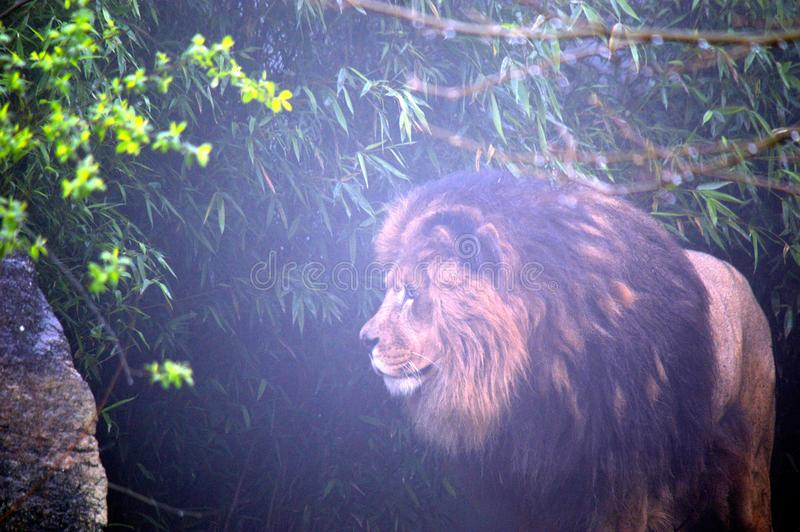 Lion in thicket. A male lion standing in a thicket royalty free stock photos