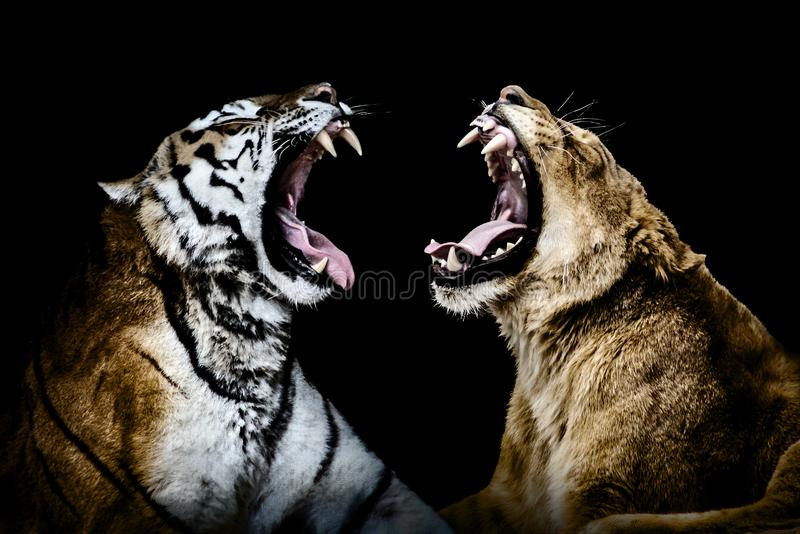 Lion and tiger yawning royalty free stock photos