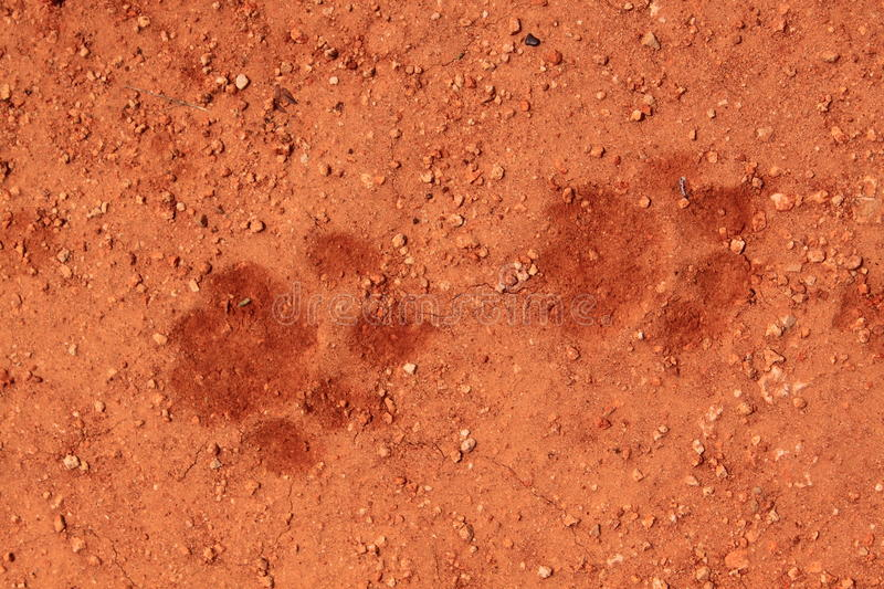 Download Lion tracks in the sand stock image. Image of wilderness - 18399081