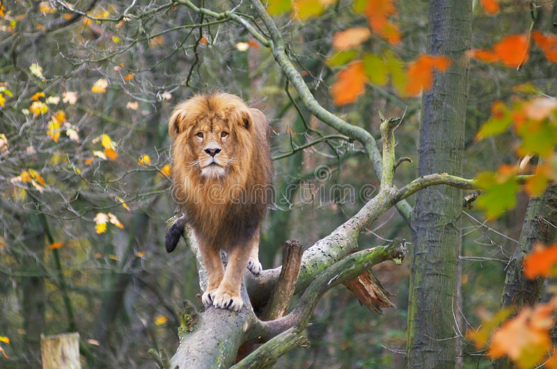 Download Lion in tree stock image. Image of field, animal, outdoor - 1379431