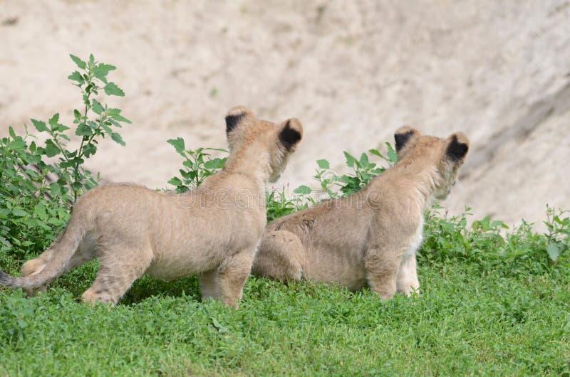 Download Lion twins stock photo. Image of grass, gaze, lion, head - 26709536