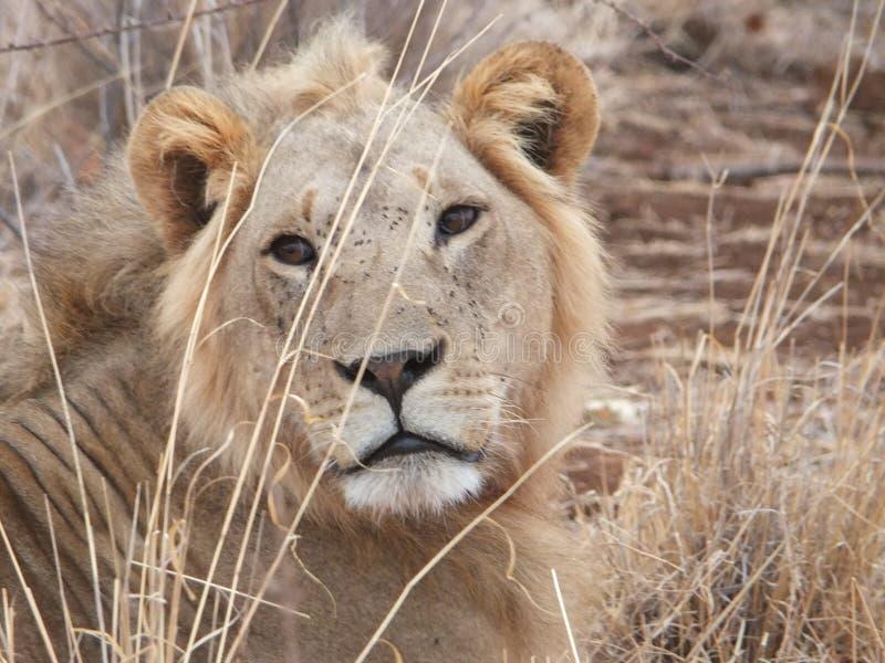 Lion upp slut fotografering för bildbyråer