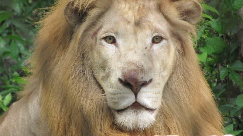 Lion View photographie stock libre de droits