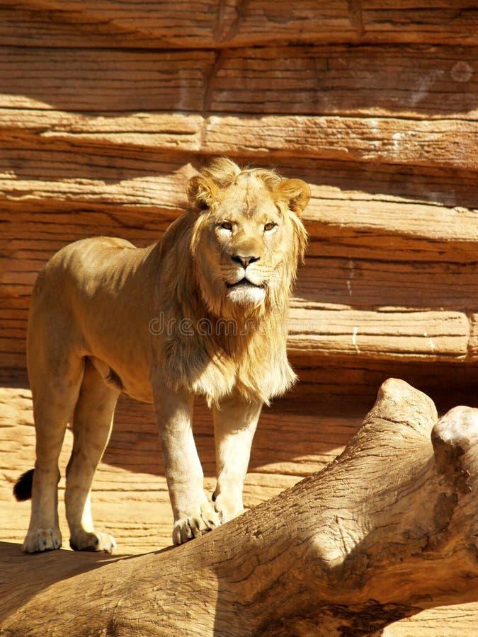 Lion visage-sur photo stock