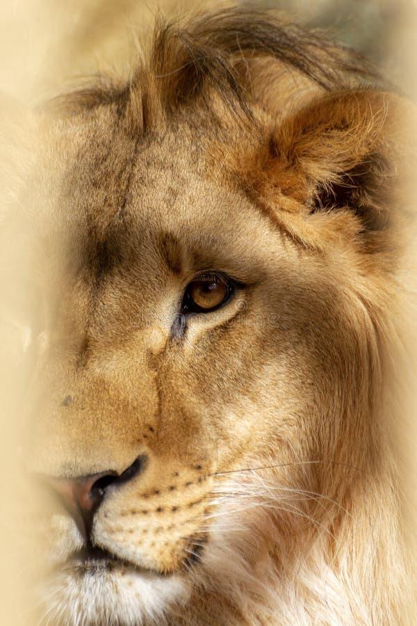 Lion w zamknięciu w klatce zoo fotografia royalty free