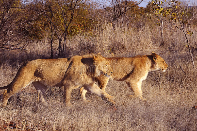 Lion walk. This picture it was taken in Zimbabwe durin a walk with the lions stock photos