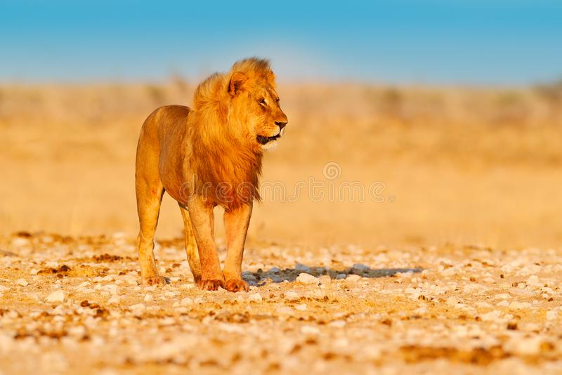 Lion walk. Portrait of African lion, Panthera leo, detail of big animals, Etocha NP, Namibia, Africa. Cats in dry nature habitat,. Hot sunny day in desert stock image