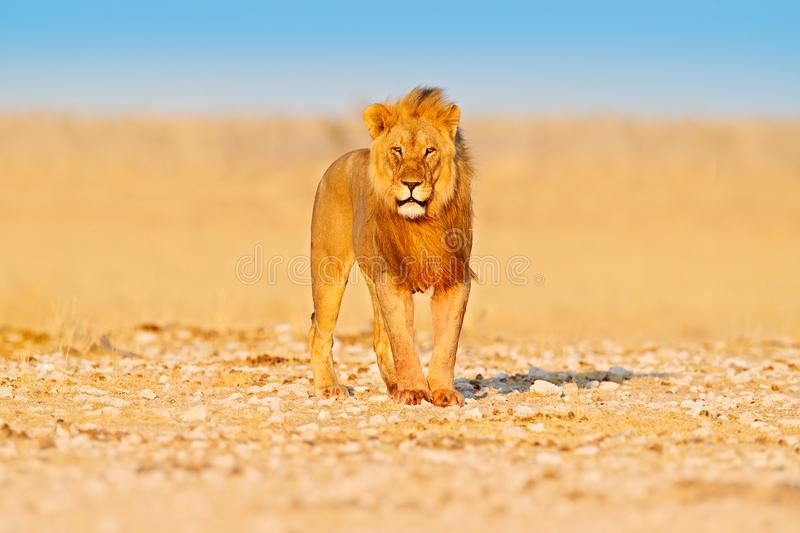 Lion walk. Portrait of African lion, Panthera leo, detail of big animals, Etocha NP, Namibia, Africa. Cats in dry nature habitat,. Hot sunny day in desert stock photos
