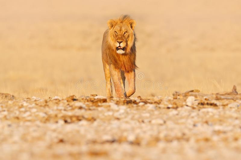 Lion walk. Portrait of African lion, Panthera leo, detail of big animals, Etocha NP, Namibia, Africa. Cats in dry nature habitat,. Hot sunny day in desert royalty free stock photos