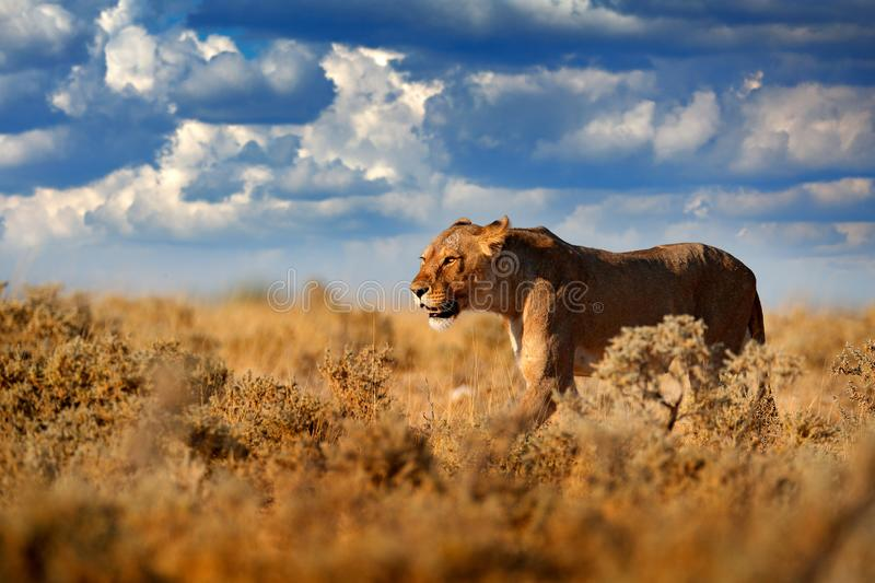 Lion walk. Portrait of African lion, Panthera leo, detail of big animals, Etocha NP, Namibia, Africa. Cats in dry nature habitat,. Hot sunny day in desert royalty free stock photo
