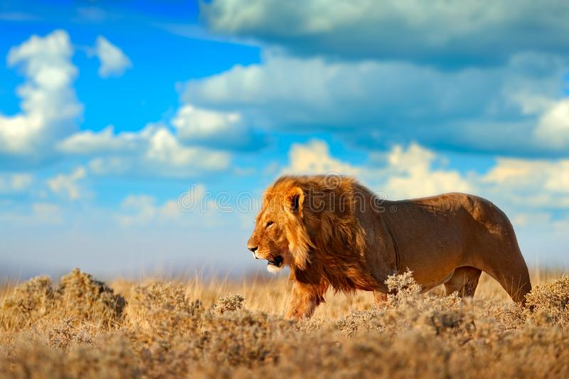 Lion walk. Portrait of African lion, Panthera leo, detail of big animals, Etocha NP, Namibia, Africa. Cats in dry nature habitat,. Hot sunny day in desert stock images