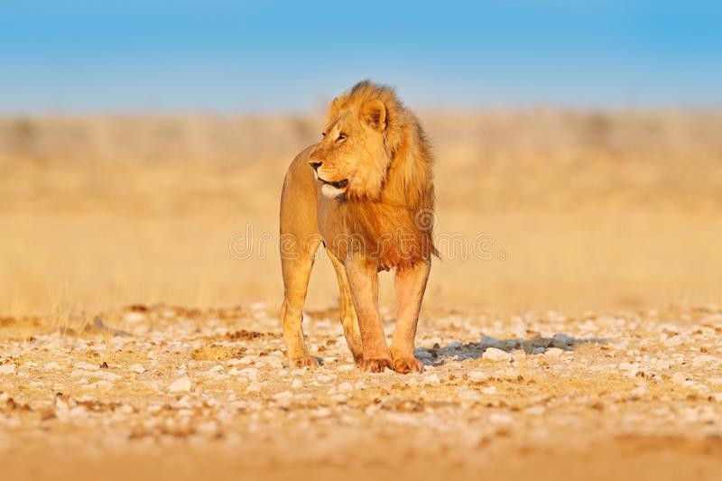 Lion walk. Portrait of African lion, Panthera leo, detail of big animals, Etocha NP, Namibia, Africa. Cats in dry nature habitat,. Hot sunny day in desert stock photography
