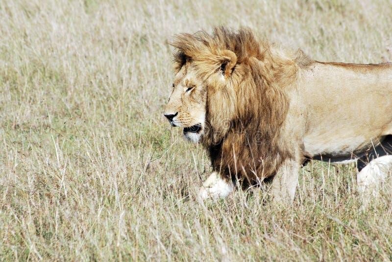 Lion walking royalty free stock images