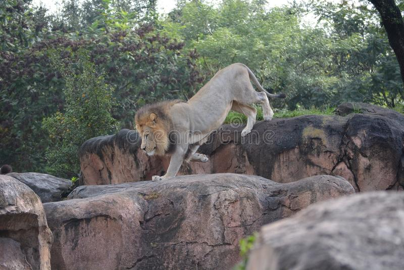 Lion walking royalty free stock photography