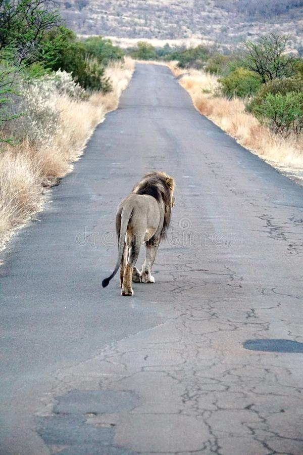 Lion walking on a road royalty free stock photography