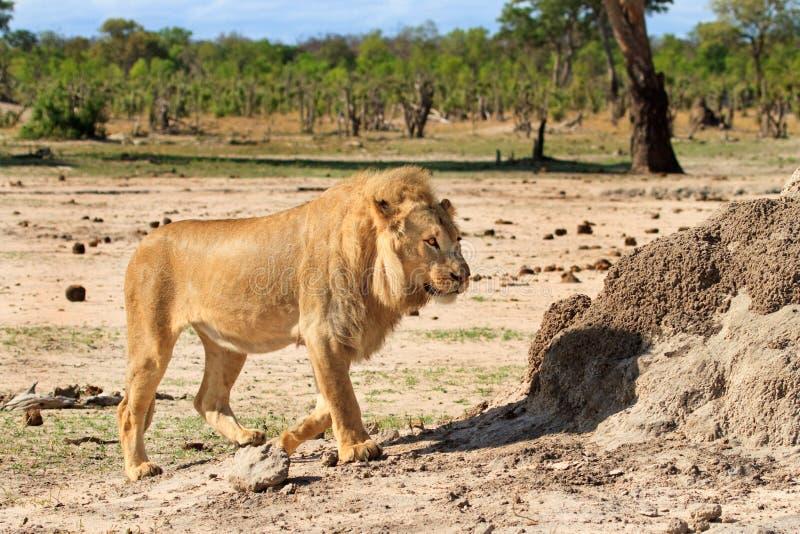 Lion walking on the the savannah in Hwange royalty free stock photo