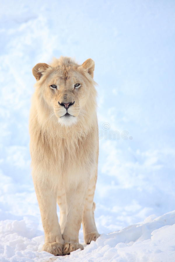 Lion. Is walking on snow in the winter