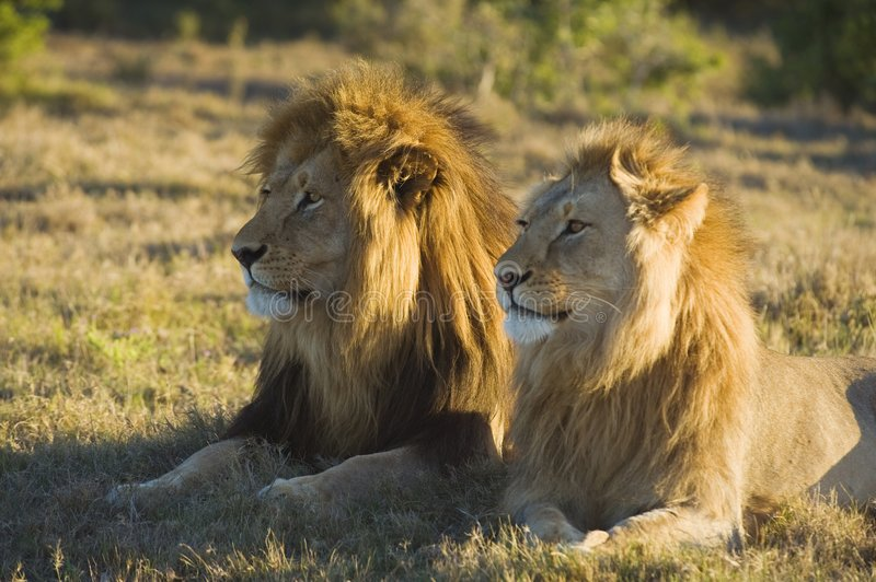Lion Watch royalty free stock image