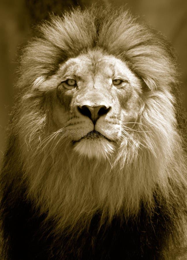Lion Watchful Eye - Sepia royalty-vrije stock fotografie