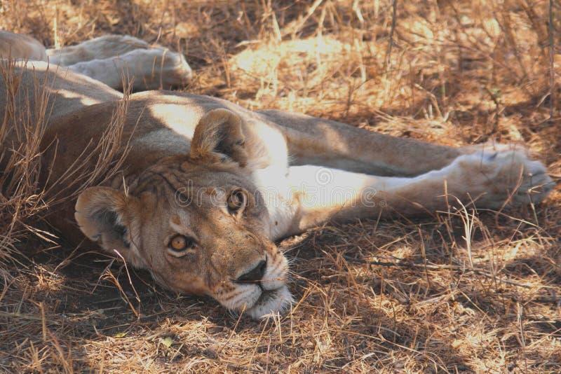 Lion Watching stock photos