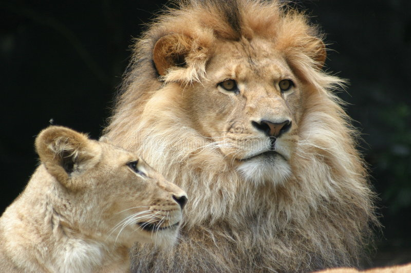 Lion watching royalty free stock photography