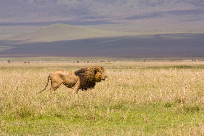 Lion in wide Serengeti landscape royalty free stock photography