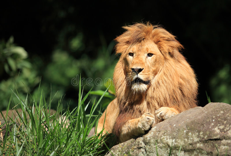 Download Lion in the wild stock image. Image of lion, outside, hunt - 5435539