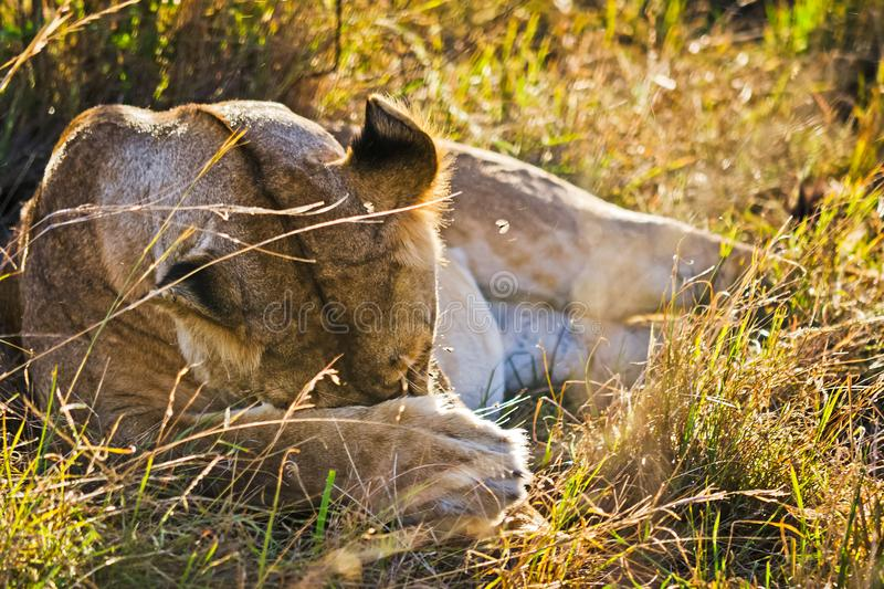 Lion in the wild in the African . Lion - predator felines. Lion in the wild in the African savannah. Lion - predator felines royalty free stock images