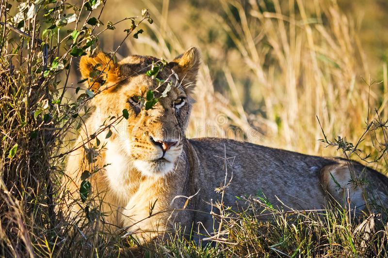 Lion in the wild in the African. Lion - predator felines. Lion in the wild in the African savannah. Lion - predator felines royalty free stock photography