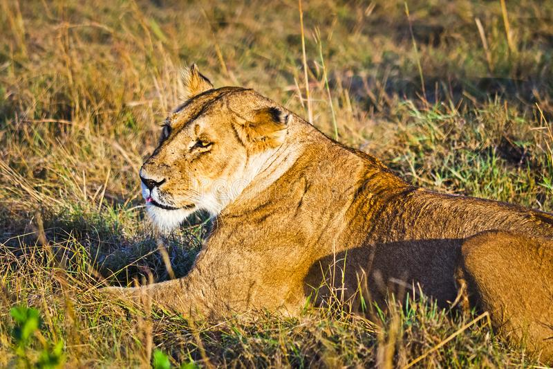 Lion in the wild in the African. Lion - predator felines. Lion in the wild in the African savannah. Lion - predator felines royalty free stock photo