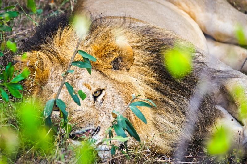 Lion in the wild in the African . Lion - predator felines stock image