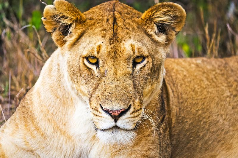 Lion in the wild in the African . Lion - predator felines stock photo