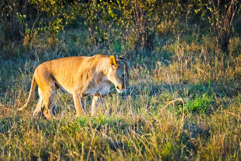 Lion in the wild in the African . Lion - predator felines. Lion in the wild in the African savannah. Lion - predator felines royalty free stock photography
