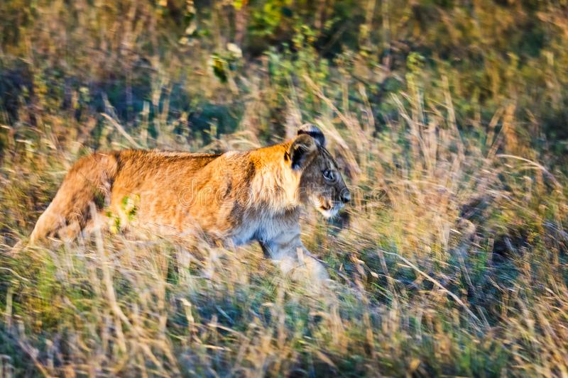 Lion in the wild in the African. Lion - predator felines. Lion in the wild in the African savannah. Lion - predator felines royalty free stock image