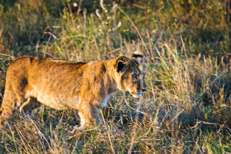 Lion in the wild in the African . Lion - predator felines. Lion in the wild in the African savannah. Lion - predator felines royalty free stock photo