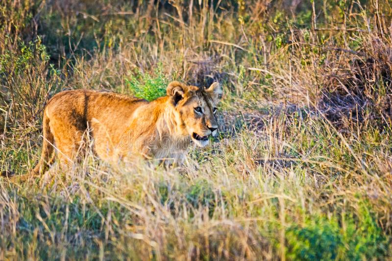 Lion in the wild in the African. Lion - predator felines. Lion in the wild in the African savannah. Lion - predator felines stock images