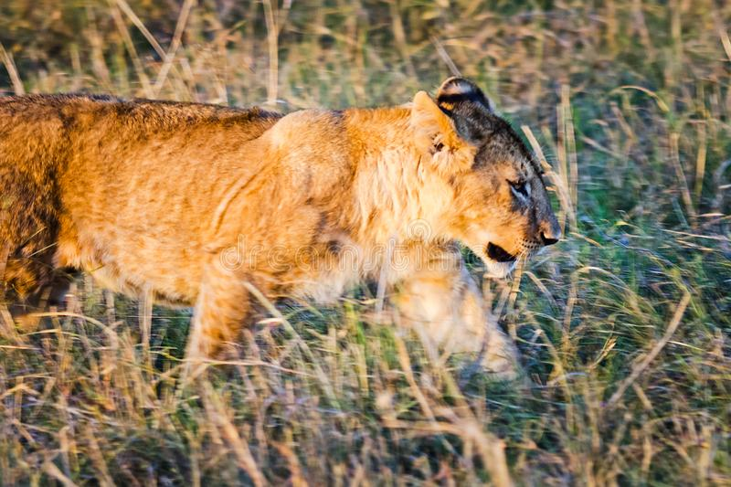Lion in the wild in the African . Lion - predator felines. Lion in the wild in the African savannah. Lion - predator felines royalty free stock image