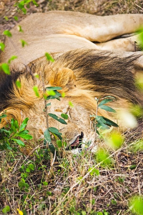 Lion in the wild in the African . Lion - predator felines. Lion in the wild in the African savannah. Lion - predator felines stock images