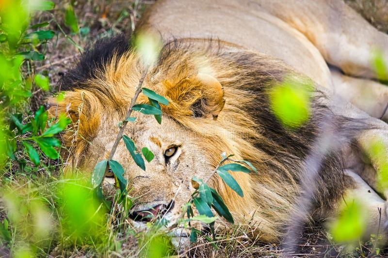 Lion in the wild in the African . Lion - predator felines stock photos