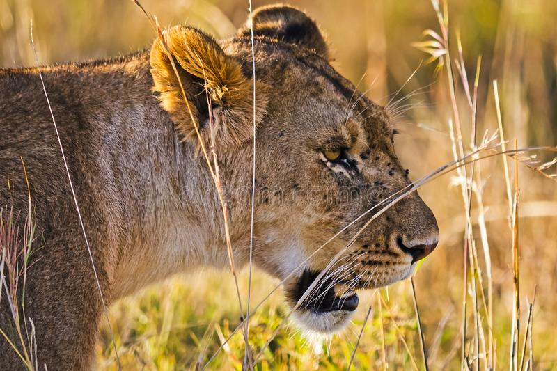 Lion in the wild in the African . Lion - predator felines. Lion in the wild in the African savannah. Lion - predator felines stock photography