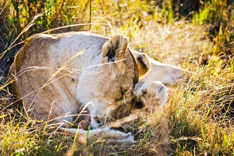 Lion in the wild in the African. Lion - predator felines. Lion in the wild in the African savannah. Lion - predator felines stock image
