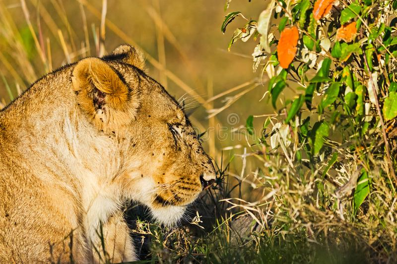Lion in the wild in the African . Lion - predator felines. Lion in the wild in the African savannah. Lion - predator felines stock photo
